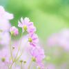 秋桜の咲く季節に