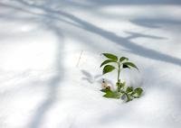 LEICA M9 Digital Cameraで撮影した(雪解けを待ちきれず)の写真(画像)