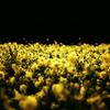 菜の花ファンタジー