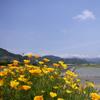 花菱草のある風景