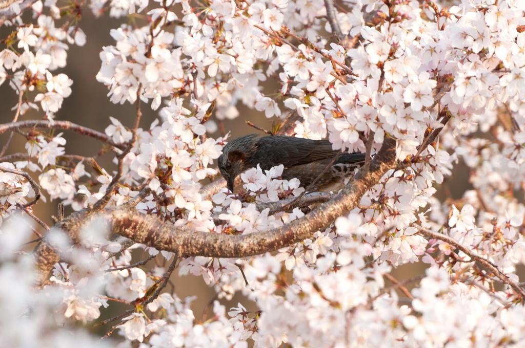 春先鳥! by 小人 (ID:1698546...