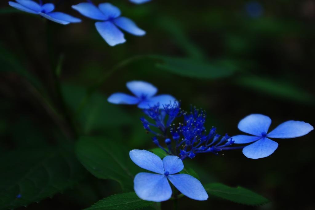 青の紫陽花