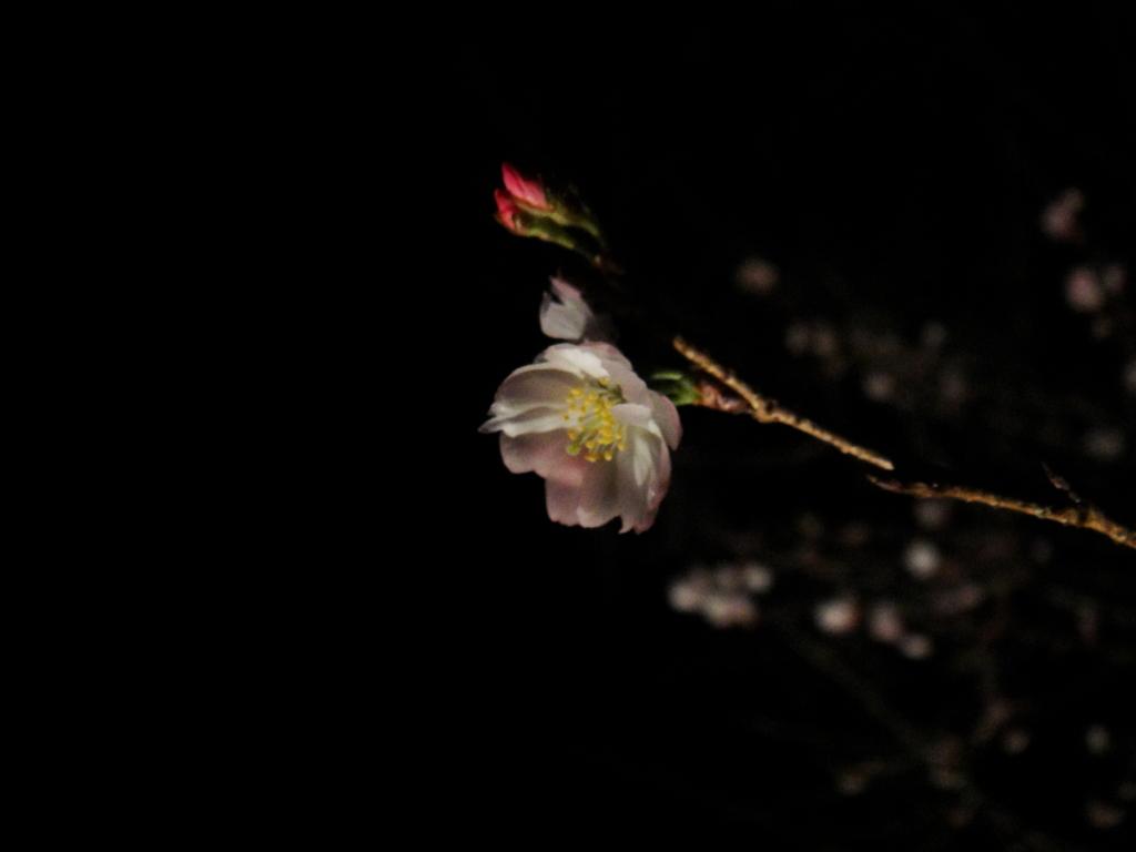 城峯公園 冬桜・楓-6