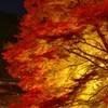 燃え咲く紅葉