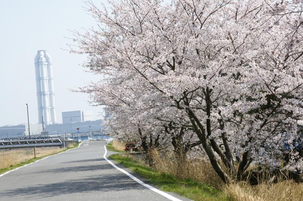 桜の見納め