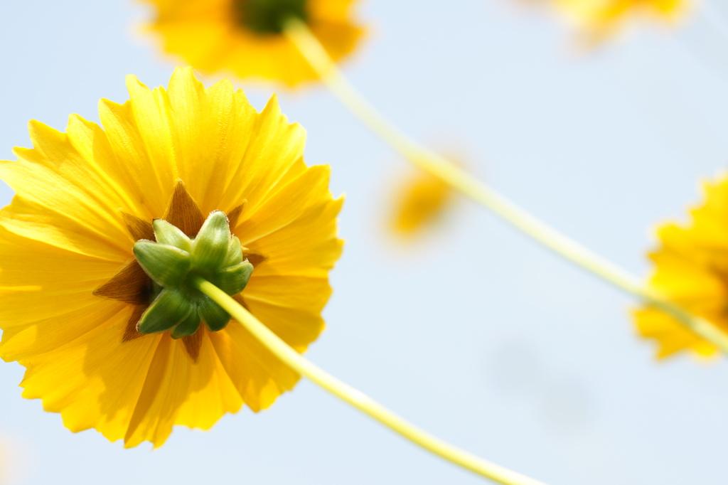 黄色い花の裏