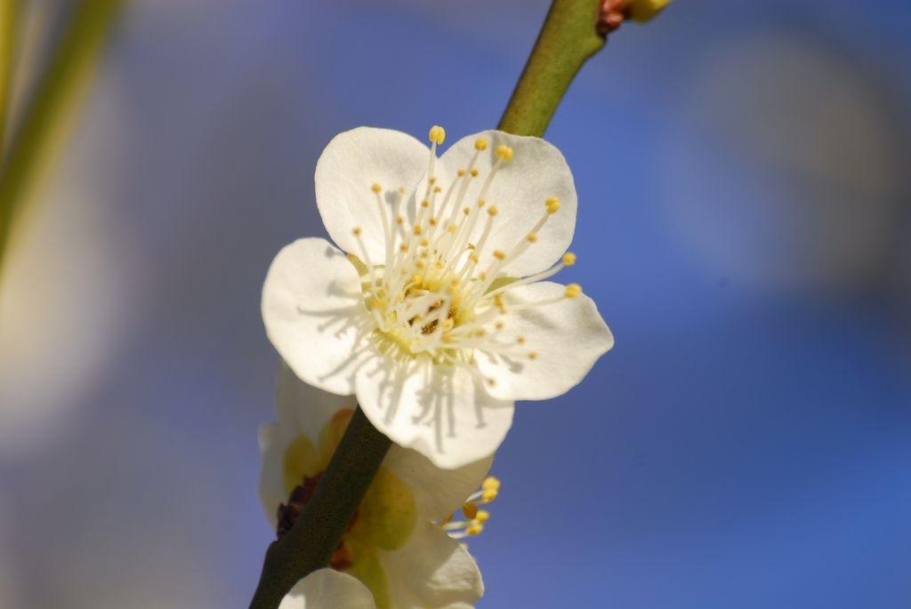 横網町公園の梅