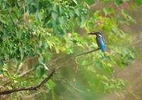 KONICA MINOLTA ALPHA SWEET DIGITALで撮影した動物(庄内緑地公園のカワセミ)の写真(画像)
