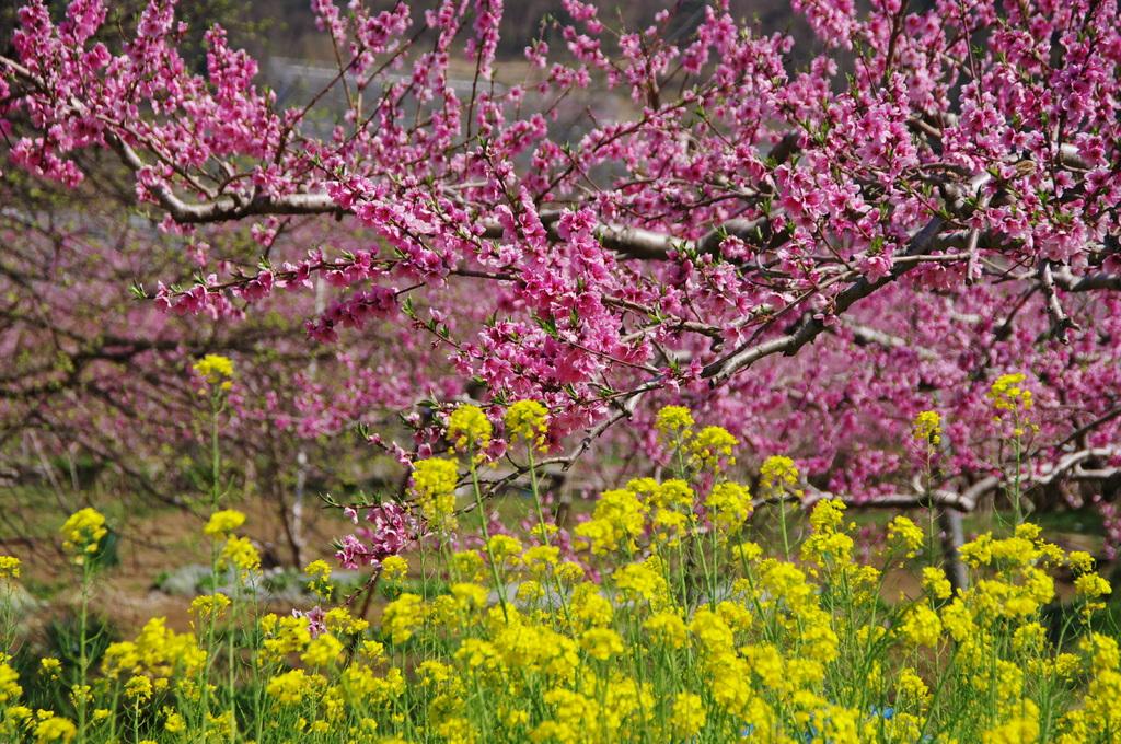 菜の花や 桃の姿を 引き立てん
