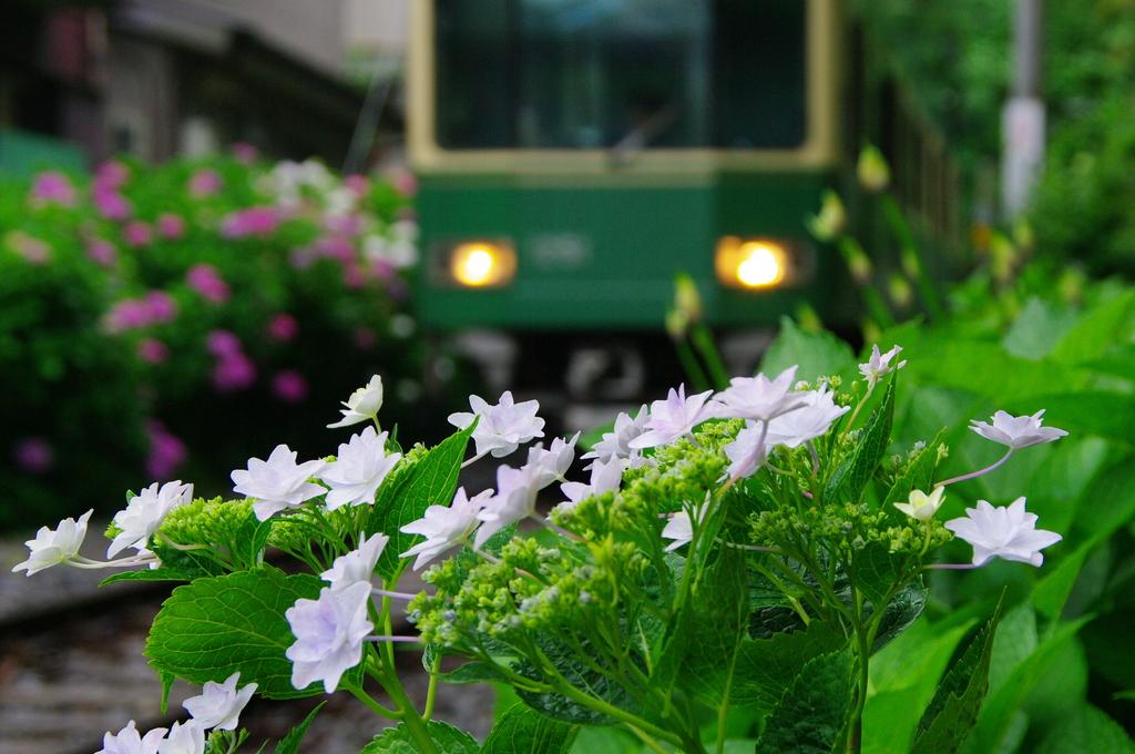 20080608江ノ電と紫陽花