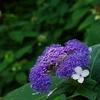 玉紫陽花(たまあじさい)