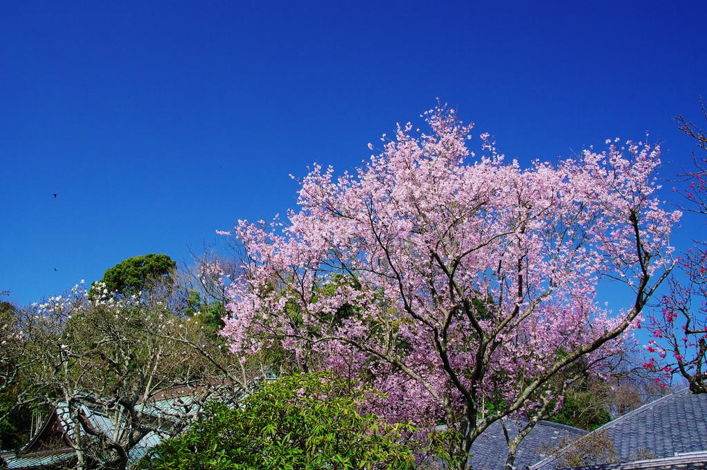 彼岸桜満開