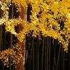 201011銀杏色づく大徳寺