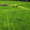 稲緑(いねみどり)