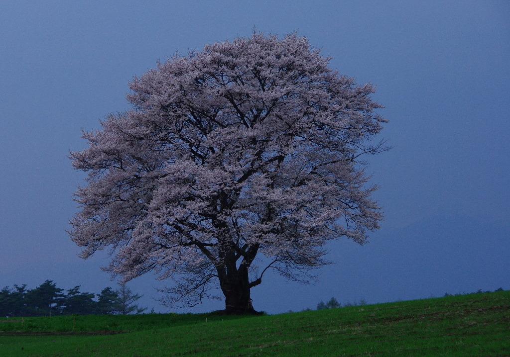 2008.4薄暮の一本桜