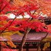 鎌倉紅葉情報Ⅱ(円覚寺本堂横)