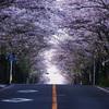 誰も見えぬ桜道