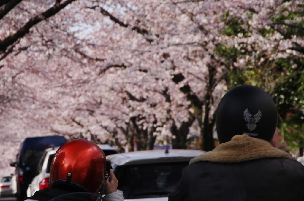ライダーも photohitoになる 桜かな
