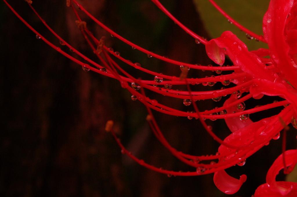 朝露の 向こうに見える しべの紅 鎌倉曼珠沙華情報