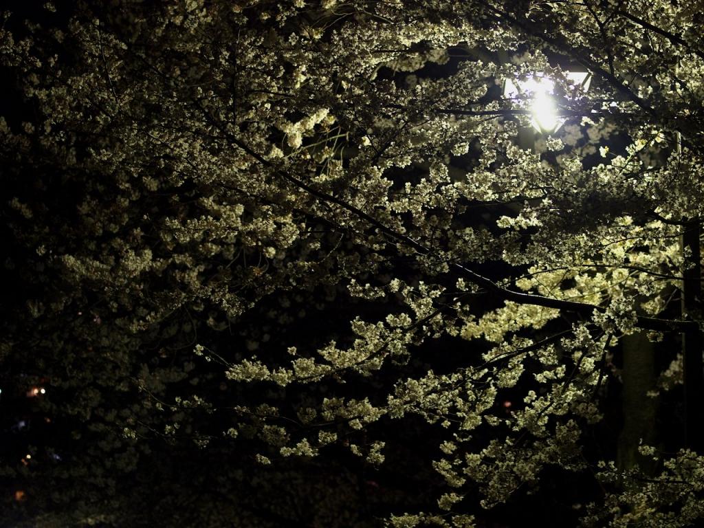谷根千 夜桜