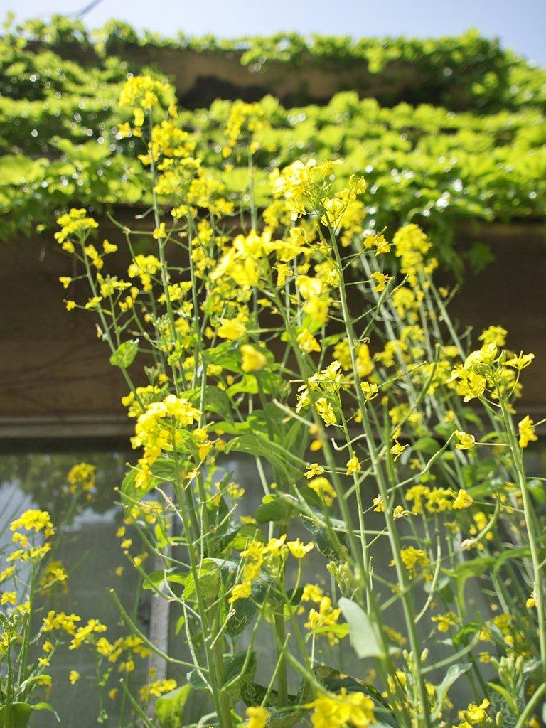 菜の花と蔦屋敷P41900912,8_1250_100_090419_R1280