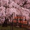 大石神社境内のしだれ桜