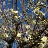 早春の空に咲く梅花(3)
