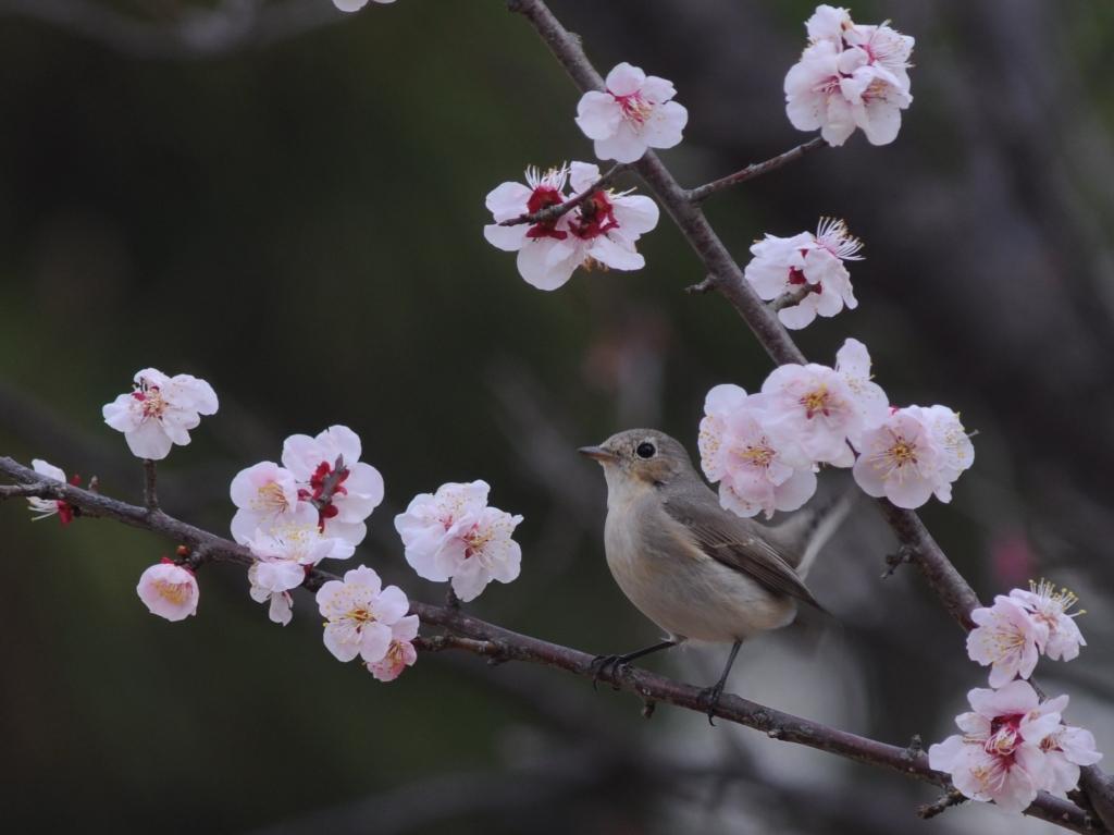 梅とオジロビタキ