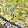 葉桜とキビタキ
