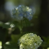 紫陽花の住処