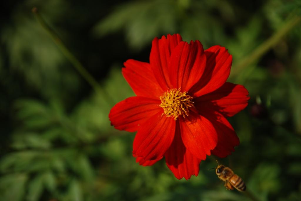 夕暮れのコスモスと蜂