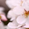 せっかち桜とのんびり桜