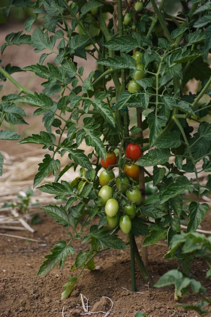 赤トマト・青トマト