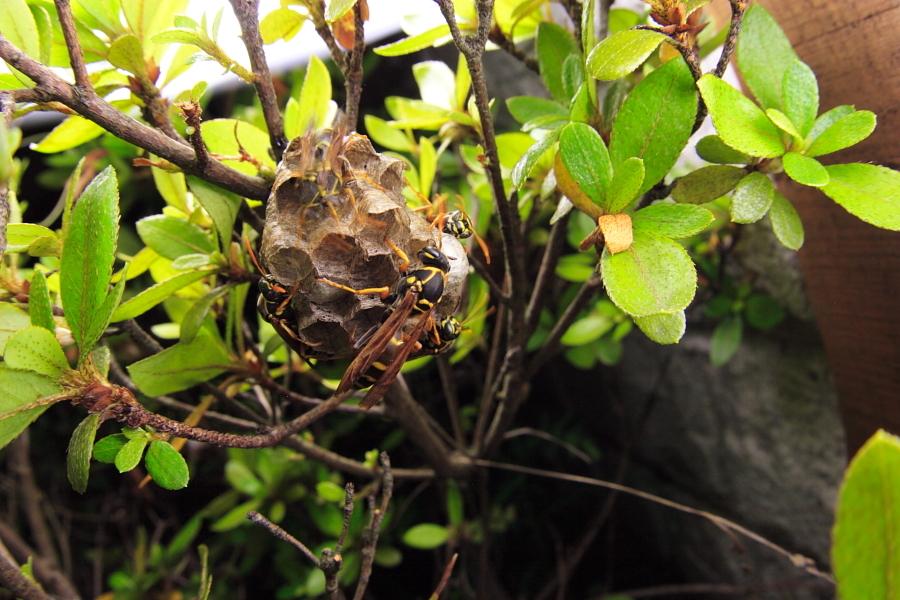 夜に強襲? アシナガバチの巣