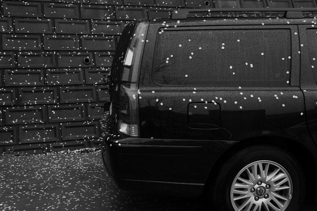 雨で桜吹雪