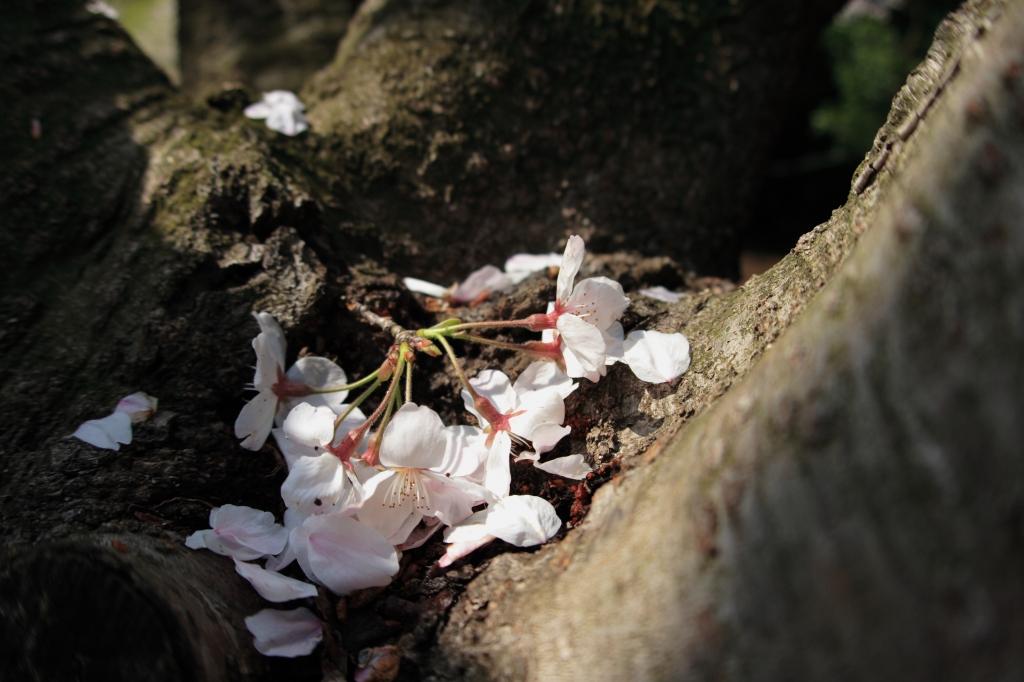 こんなとこにも桜