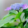 雨のち晴れ、そして紫陽花