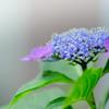 雨のち晴れ、そして紫陽花 2
