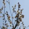 農業園芸センタ-の梅