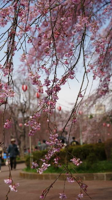 榴岡公園のしだれ桜