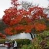 雨中の紅葉
