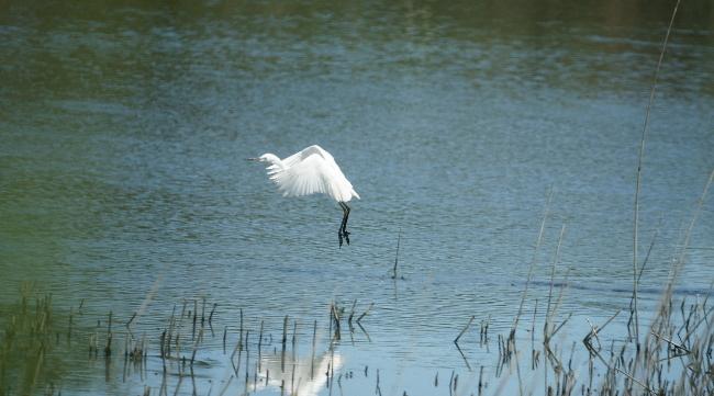 蒲生干潟の白鷺1