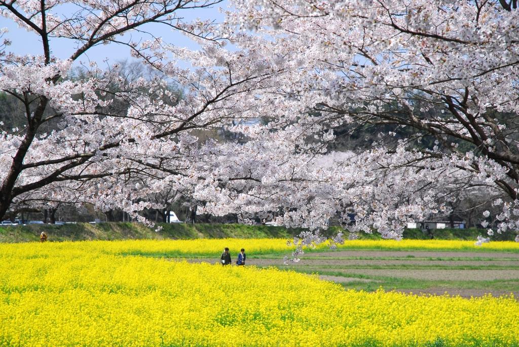 桜と菜の花