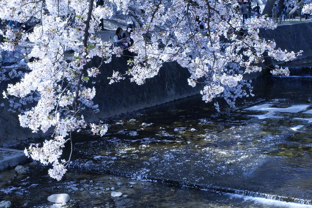 夙川桜祭りにて