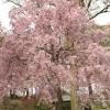 枝垂れ桜 6(栃木県 つがの里)