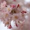 枝垂れ桜 1(栃木県 つがの里)