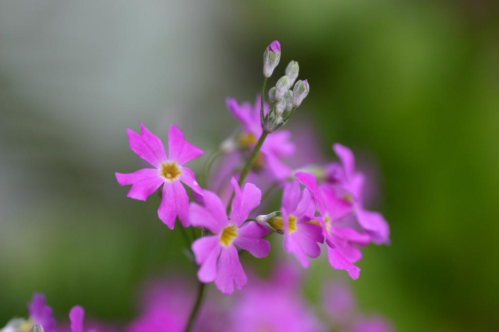 西洋桜草(プリムラ・マラコイデス)