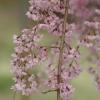 枝垂れ桜 2(栃木県 つがの里)