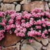 石垣に張り付いたバラの花