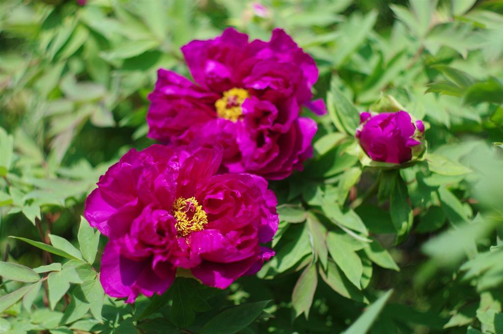 ボタン科 牡丹の紅花